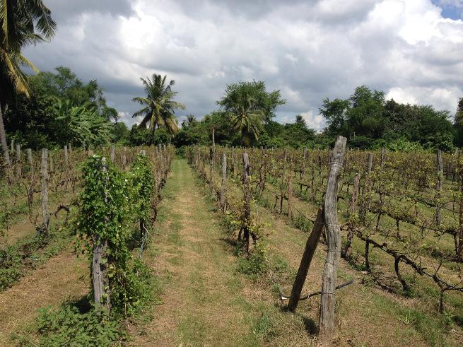 Battambang, Cambodia vineyard